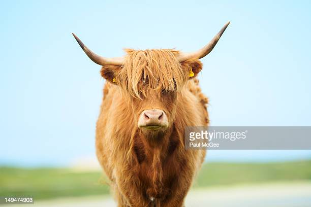 Highland cow at beach