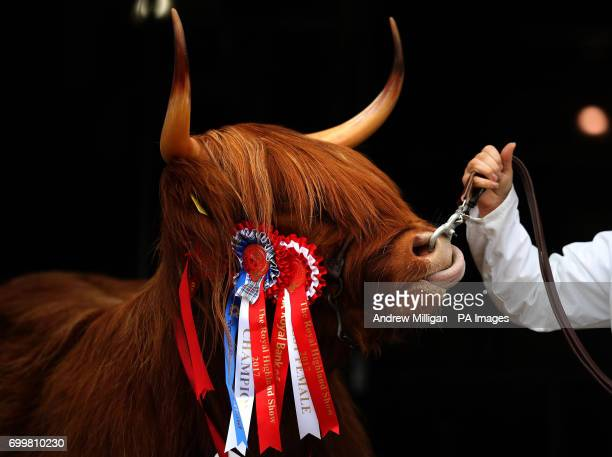 Highland cow Eleanor from the Ranch Fold farm in Letham Angus after becoming breed champion in the Highland Cattle section during the first day of...