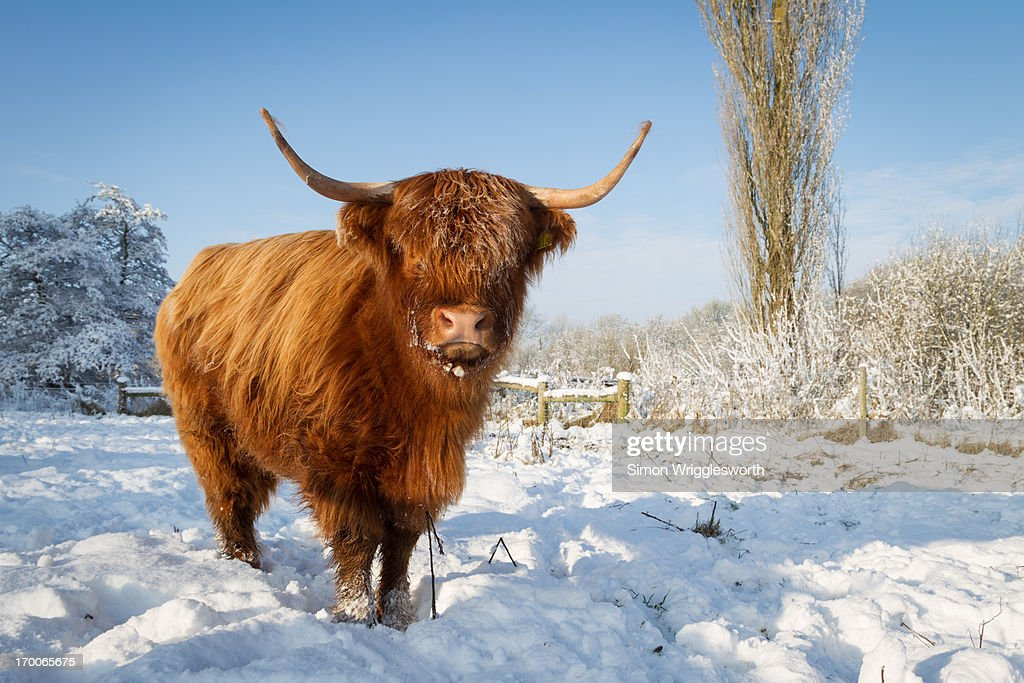 Highland Cow In Snow Stock Photo | Getty Images - photo#1