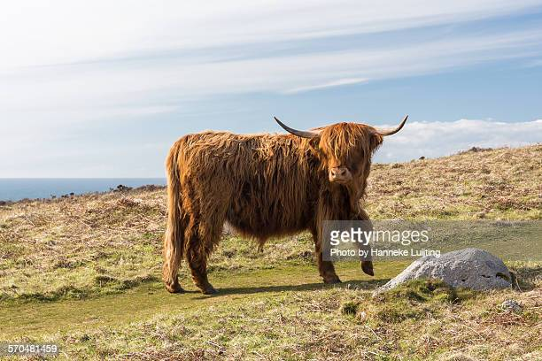 A highland cow on Lundy island, Devon