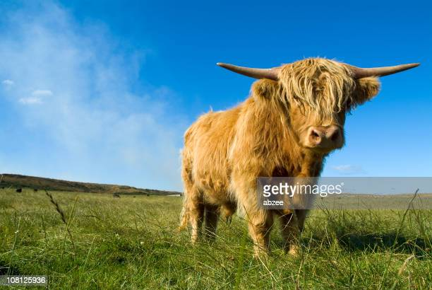 Highland Cow Standing in Large Green Field and Blue Sky