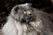 Highland Fold Cat in shadowsHighland Fold Cat in shadows