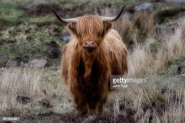 Highland horn