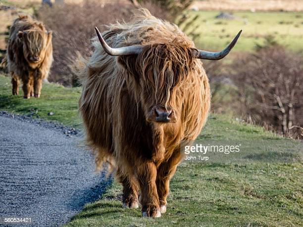 Highland Horns