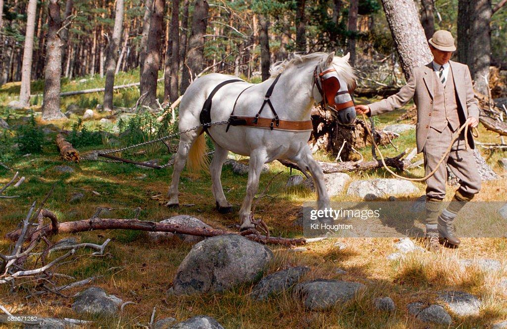 Highland Pony Pulls Logs