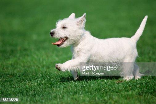 Highland terrier running in field : Stock Photo