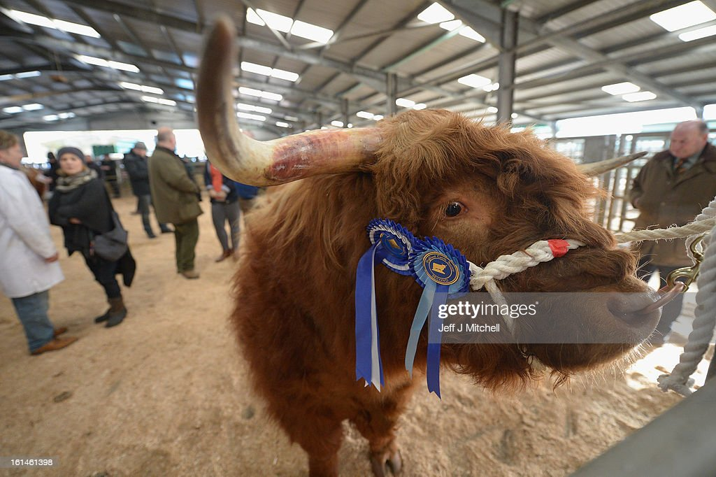 A Highland, with show rosettes attached, stands tethered during the 122nd Highland Cattle Society spring sale at Oban Livestock centre on February 11, 2013 in Oban, Scotland. The show and sale held over two day's is open to all highland breed enthusiasts, attracting many buyers from across Europe and North America.