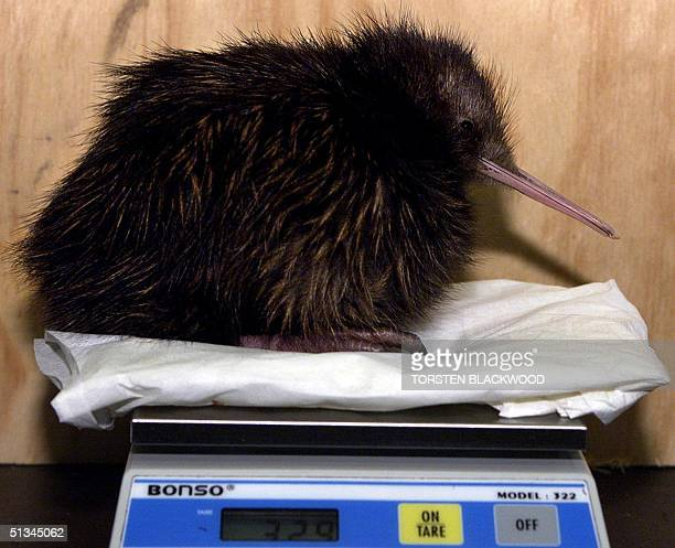 A highly endangered North Island Brown Kiwi chick 'Putanui' Maori for 'born big' as he weighed 405 grams at birth is weighed for the Department of...