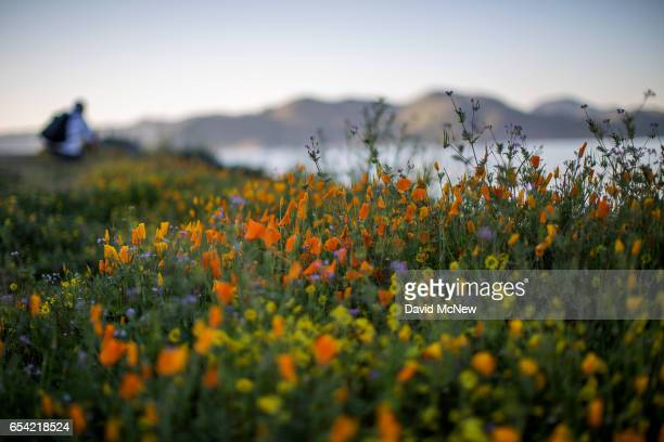 A hiker passes flowers after prolonged record drought gave way to heavy winter rains causing one of the biggest wildflower blooms in years on March...
