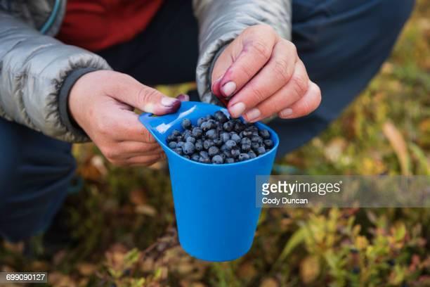 Hiker picking wild blueberries outside Trnasjs hut, Kungsleden trail, Lapland, Sweden