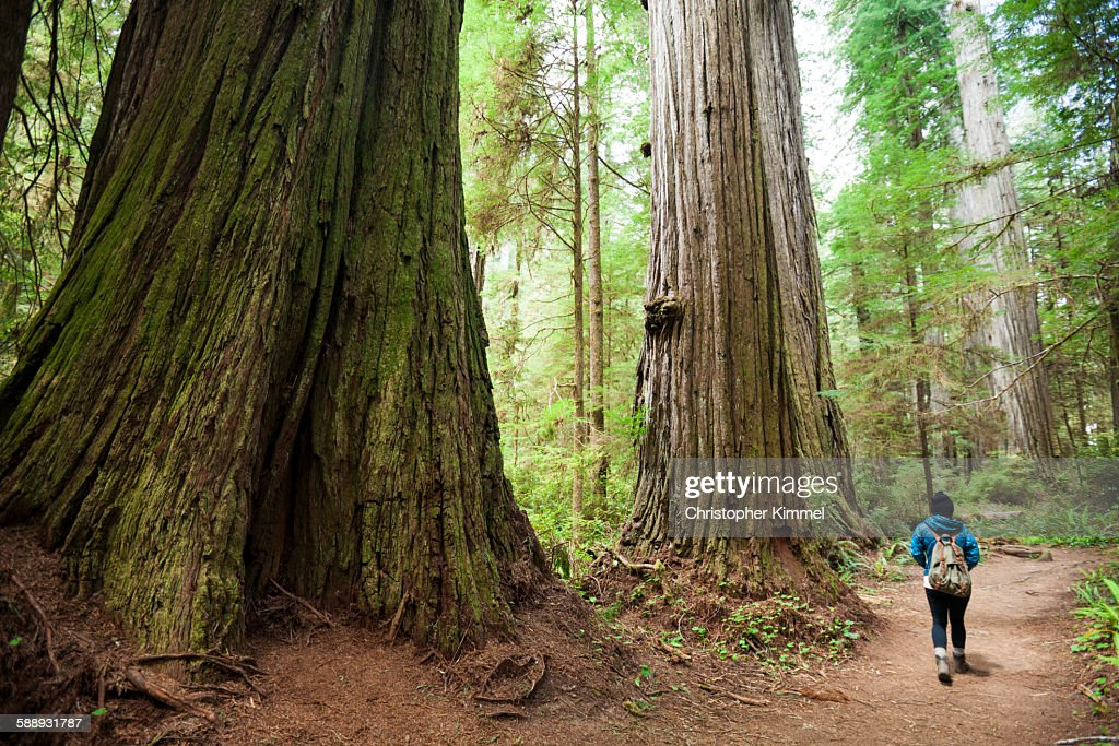 A hiker walks past giant Redwood Trees while visiting Stout Grove, Jedediah Smith Redwoods State Park.