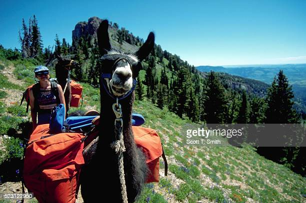 Hikers and Pack Llamas on Ruby Crest Trail