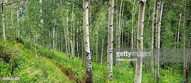 Hiking in the Aspen trees forest