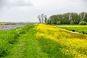 Hiking path lined with rapeseed along a canal in Alblasserwaard polder, The Netherlands