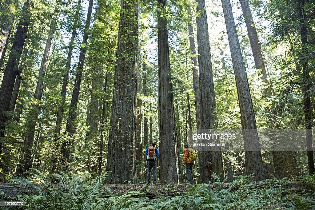 Hiking through the Redwoods. : Stock Photo