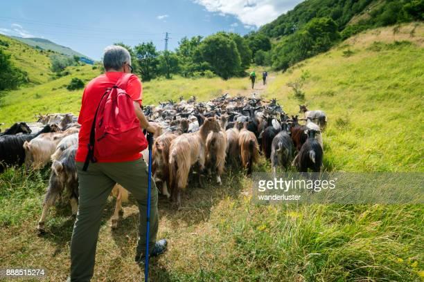 Wandern mit Ziegen auf transumanza