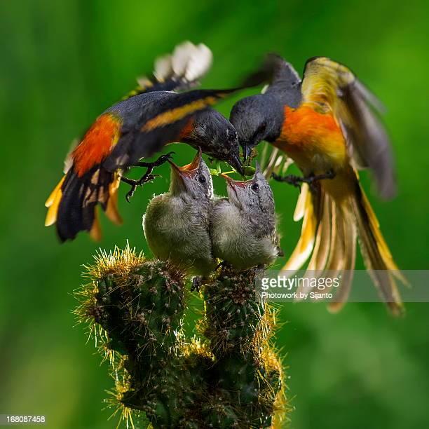 Hill Black Flycatcher