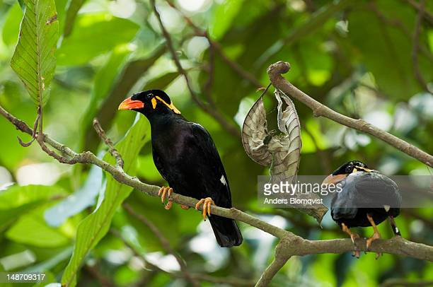 Hill Myna's (Gracula religiosa) at Lok Kawi Wildlife Park.