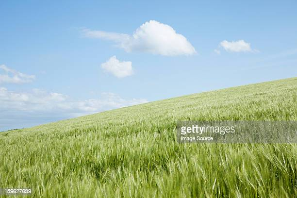 Hill with field of long grass, Padstow, Cornwall, England, UK