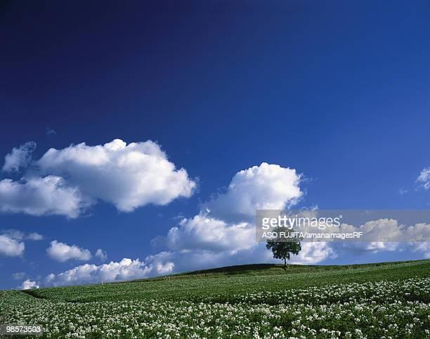 Hill with potato flowers. Biei, Hokkaido, Japan