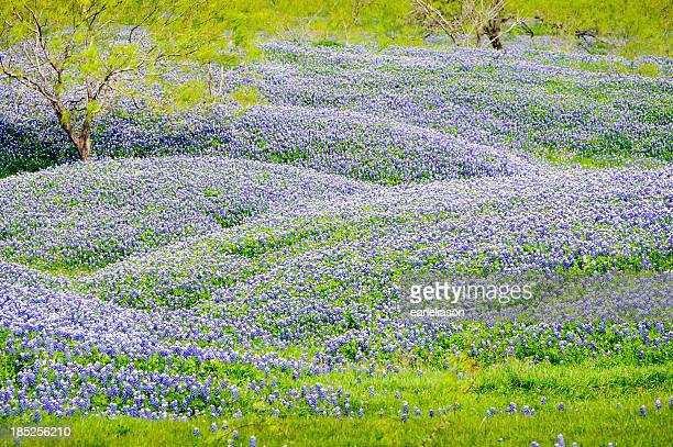 Hills of Bluebonnets
