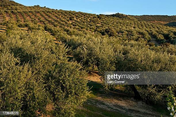 Hills of olive groves