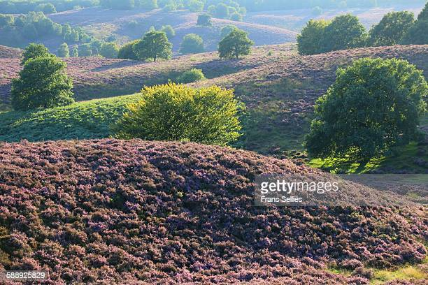 Hills with blooming heather at the Posbank