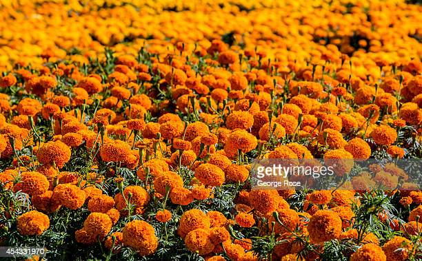 A hillside flower farm overlooking the town of Solvang is viewed on July 27 in Solvang California Because of its close proximity to Southern...