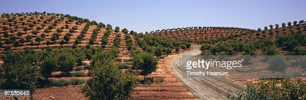 Hillsides with rows of almond trees