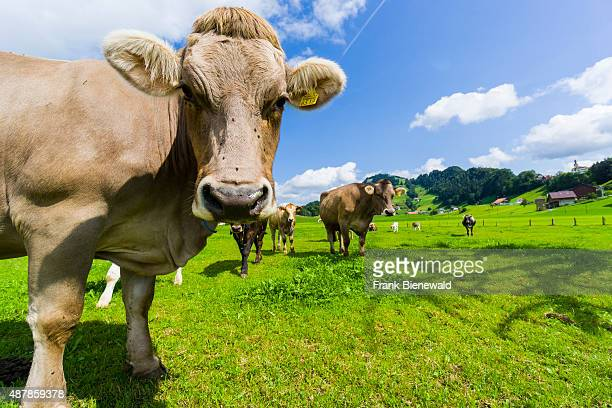 Hilly agricultural landscape with mountains green meadows and some cows one cow as close up