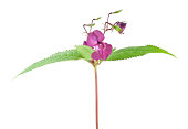 Himalayan balsam, Impatiens glandulifera isolated on white background