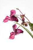 Himalayan balsam; Impatiens glandulifera