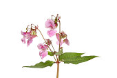 Himalayan balsam, Impatiens glandulifera, also known as Policeman's Helmet, Bobby Tops, Copper Tops, and Gnome's Hatstand , flowers and foliage isolated against white