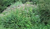 impatiens glandulifera, an invasive plant in europe