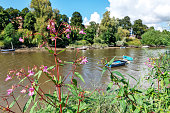 Himalayan balsam on the bank of the River Dee, Chester, England. Invasive species.