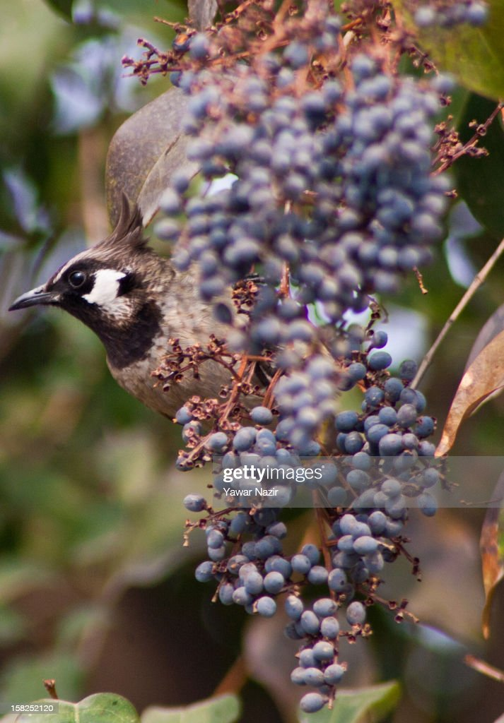A Himalayan Bulbul eats berries on a tree on December 12, 2012 in Srinagar, the summer capital of Indian administered Kashmir, India.
