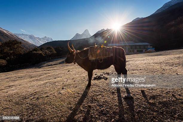 Himalayan yak with sunrise at Tengboche village in Khumbu Valley, Nepal