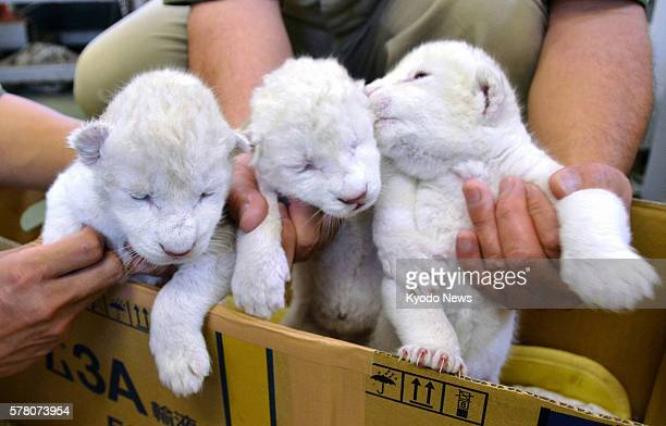 Himeji Japan Photo shows three white lion cubs at Himeji Central Park in Hyogo Prefecture western Japan on June 24 2011 They were born at the...