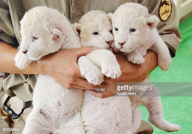Himeji Japan Photo shows white lion cubs being shown to public on July 13 at Himeji Central Park in Hyogo Prefecture western Japan