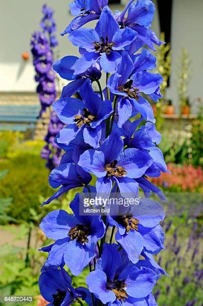 Himmelblau blueht der Rittersporn Sorte Harlekin im sommerlichen Staudenbeet eines Bauerngartens