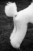 Hindquarters of a poodle
