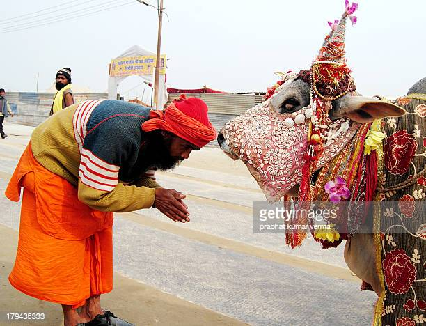 Hindu devotee saluting to Cow for the get blessing of God during the Maha Kumbh Mela on January 17 2013 in Allahabad India The Maha Kumbh Mela...