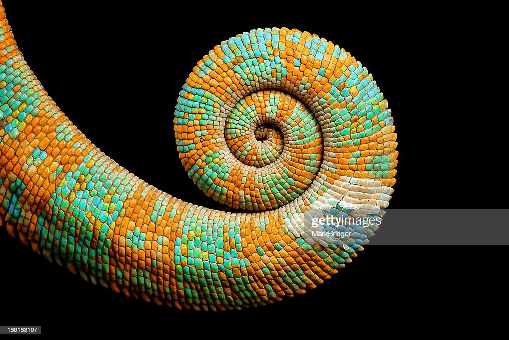A chameleons curled up tail with hint of blue coming through the peeling skin