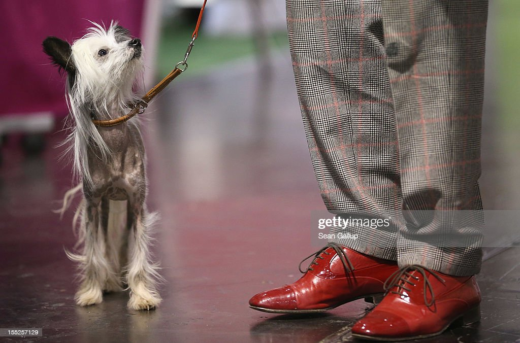 Hippie, a kind of nearly-hairless dog called a Chinese Crested, stands next to its owner at the pet trade fair (Heimtiermesse) at Velodrom on November 2, 2012 in Berlin, Germany. Exhibitors are showing the latest trends in collars, snacks and other accessories for cats, dogs and other household pets.