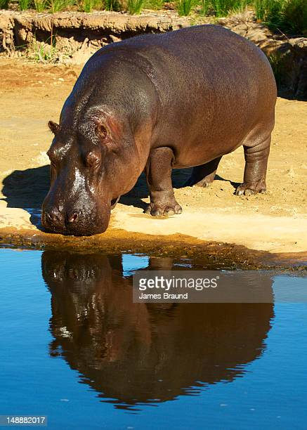 Hippo at Werribee Zoo.