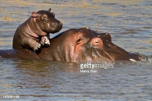 Hippo baby enjoying life on mum's back