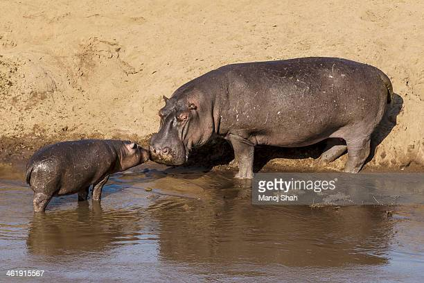 Hippo baby nuzzling mother