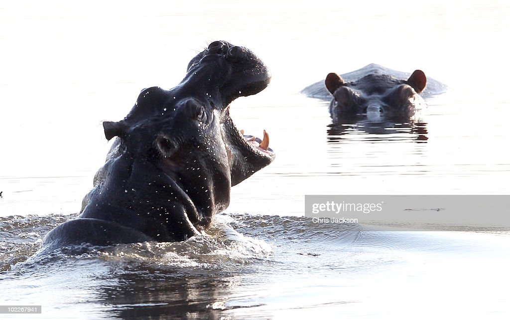 A hippo breaks the surface of the water outside Kingspool Luxury Safari Camp on June 18, 2010 in Maun, Botswana. Camps run by Wilderness Safaris such as Jao and Kingspool situated deep in the water land of Botswana's Okavango delta rely on high-end luxury tourism with rooms costing upwards of USD 800 per person, per night in peak season. It has always been the policy of Botswana to concentrate on low volume, high value tourism, However with the recent economic downturn many of the lodges are suffering with a lack of bookings. The Okavango Delta (or Okavango Swamp), in Botswana, is the world's largest inland delta and is home to an abundance of wildlife.