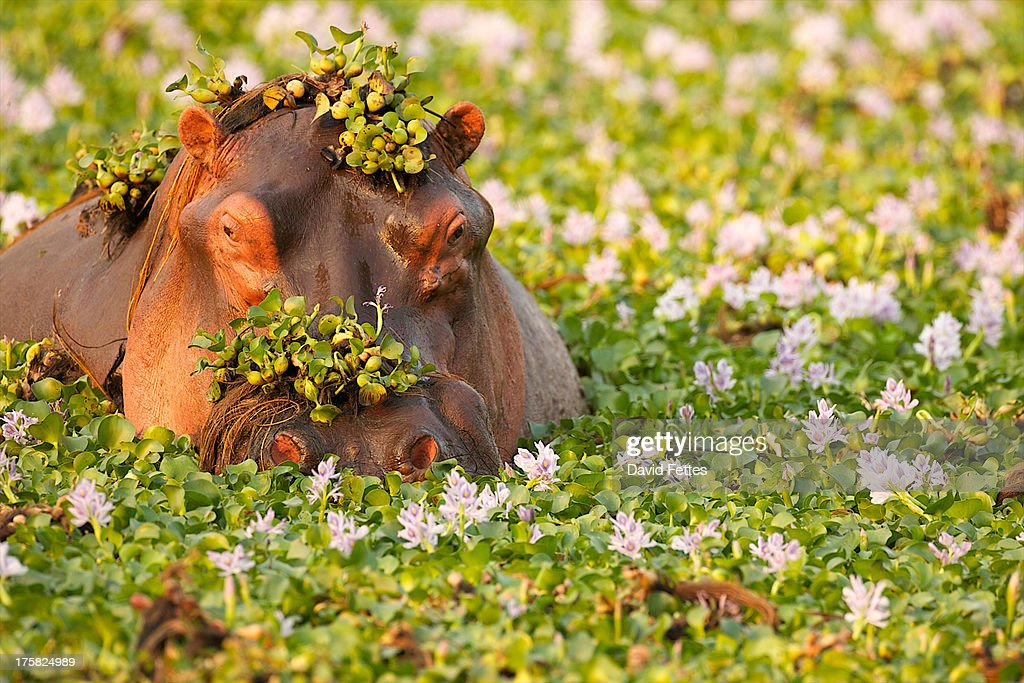 Hippo covered in plants in waterhole, Mana Pools National Park Zimbabwe, Africa : Stock Photo