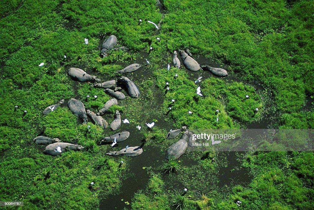 hippo hippopotamus amphibius aerial view in swamp kenya